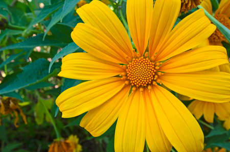 Detail picture of yellow flower of Mexican sunflower close up