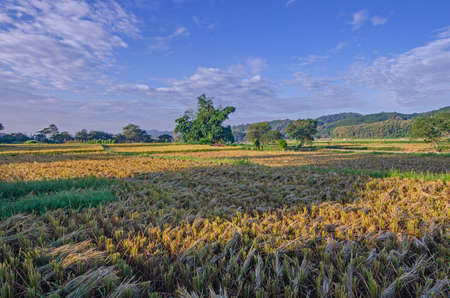 Beautiful rice field in harvesting season in the Thailand Imagens