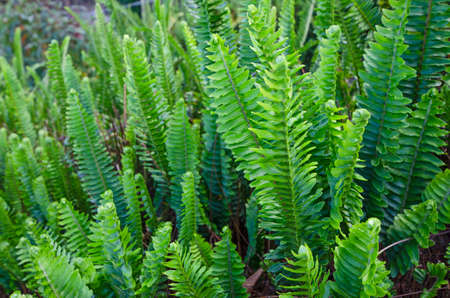 Fresh green leaves of wild fern in forest