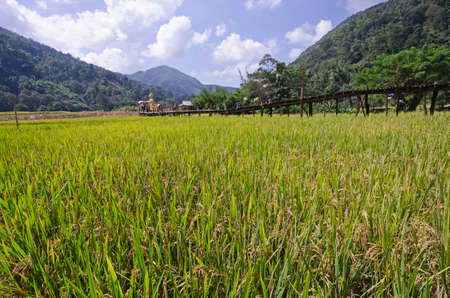 Rice field in the plain in the middle of high mountains