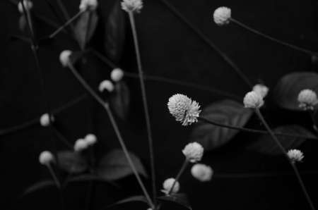 Black and white image of Dentata ruby flowers Imagens