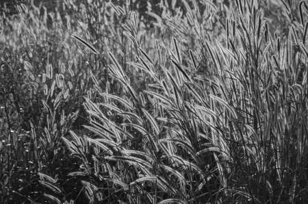 Black and white image of grass flowers in light