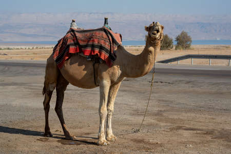 Camel looking at the camera while standing still close to the road Banco de Imagens