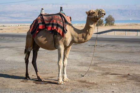 Camel on the streets of Israel tied on the ground