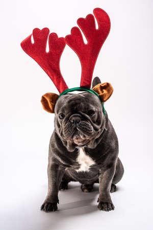 Cute french bulldog wearing raindeer hairband posing in the studio Stock Photo