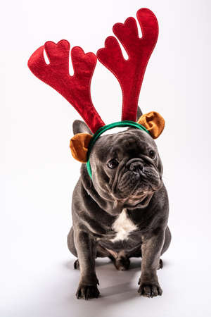Portrait of sad french bulldog looking right up while wearing raindeer hairband