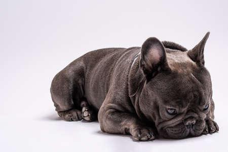 Close up portrait of sad little french bulldog