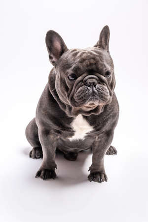 Blue french bulldog shot sitting in a studio Imagens