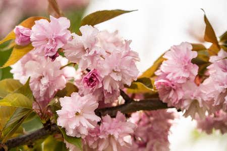 Close up of Cherry Blossom tree ou Sakura flower tree blossom dans le parc Herastrau, Roumanie