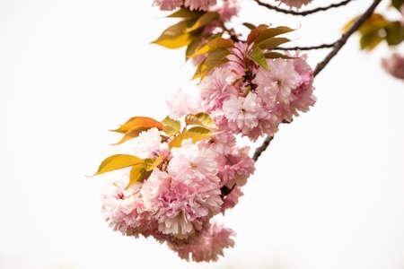 Close up of Cherry Blossom tree ou Sakura flower tree blossom dans le parc Herastrau, Roumanie Banque d'images
