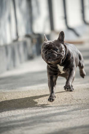 Cute purebreed gray frech bulldog caught outside while running on the pavement. Shot in mid air position