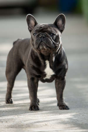 Outdoor gray french bulldog making funny faces while sitting up and looking towards camera Banco de Imagens - 122267574