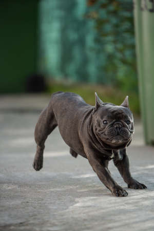 Funny french bulldog trying to stop from running on his front two feet Banco de Imagens