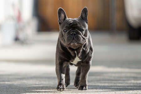Outdoor portrait of french bulldog shot in front of the house while walking on the pavement and looking towards camera Banco de Imagens