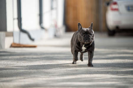 French gray bulldog shout outside on a sunny day