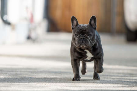 Outdoor portrait of french bulldog shot in front of the house while walking on the pavement and looking towards camera Banco de Imagens - 122267590
