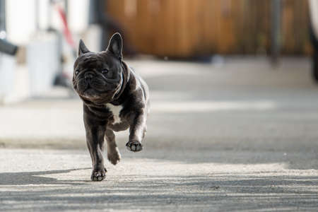 Cute and funny french bulldog shot from front perspective while running towards the camera in front of the house