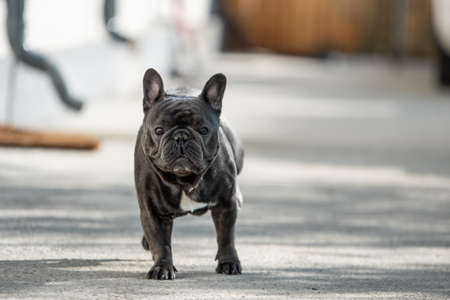 French bulldog looking serious while sitting outside in front of the house on the pavement