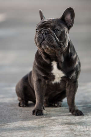 Cute sitting french bulldog looking to the left side with his ears up Banco de Imagens - 122267595