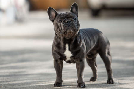 Adorable french bulldog is looking up towards right side while taking a walk outdoor. Banco de Imagens