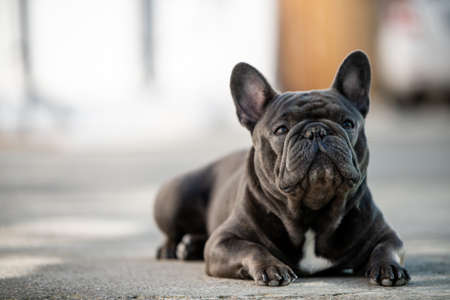 French bulldog laying on the pavement outdoor. Canine portrait shot in natural light and landscape mode