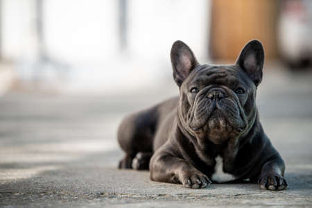 French bulldog laying on the pavement outdoor