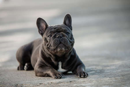 Canine portrait of a gray french bulldog sitting and paying attention