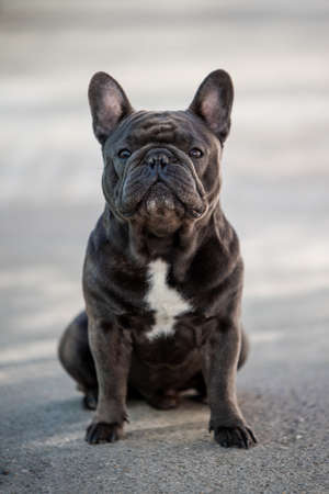 French bulldog puppy looking front while outside