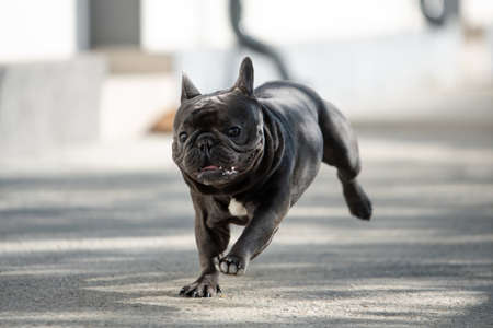 Jumping french bulldog outdoor portrait Banco de Imagens - 122267636