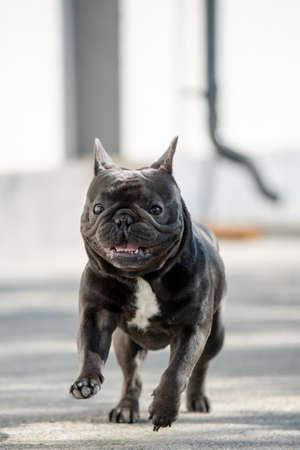 Running towards camera french bulldog Banco de Imagens - 122267637