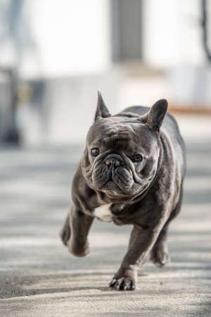 Running towards camera french bulldog Banco de Imagens - 122267638