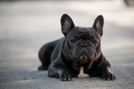 French bulldog canine portrait sitting outside on the pavement. Shot in natural light