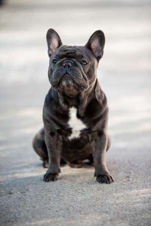 French bulldog puppy looking left while outside