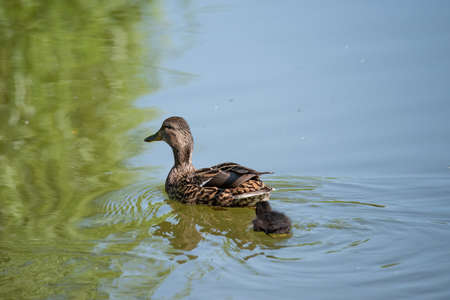 Cute duckling following mother in a queue on the lake