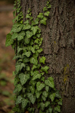 Beautiful green ivy grown on tree bark with gorgeous texture