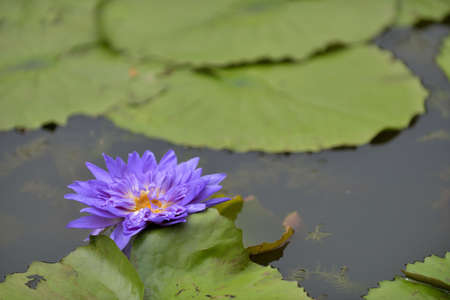 Beautiful violet lotus in a reflection pond with a mindfulness, enlightment and peaceful atmosphere.