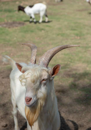 A male goat smiling with happy face at the camera.