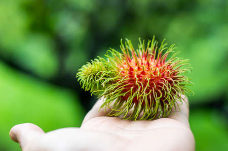Red rambutan fruit placed on the hand green background