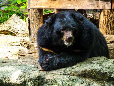 asiatic: Asiatic black bear smile