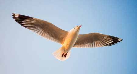 Seagull in BangPu, Thailand They fly so far away from Northern Asia to Southern Asia photo