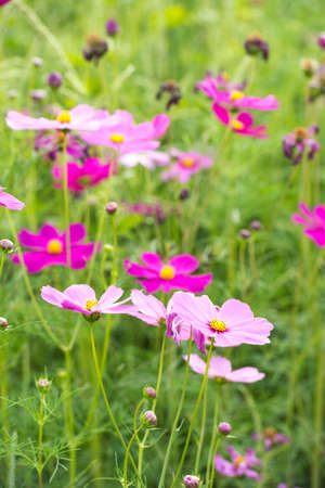 purple floral: Beautiful cosmos flower Stock Photo