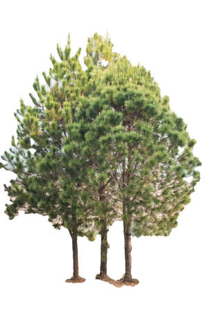 The pine tree on a white background Stock Photo