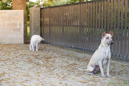 two white watchdog guarding wooden fence in home front with falling leaves on the floor