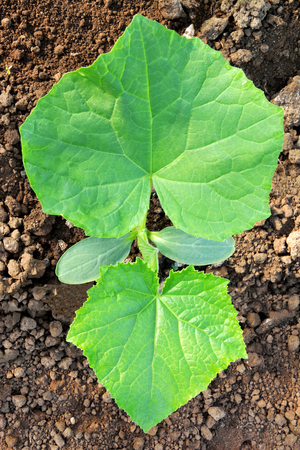 Cucumber plant with two big leaves in heart shape Archivio Fotografico - 95926886