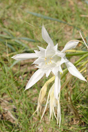 Sea daffodil known as sand lily Imagens