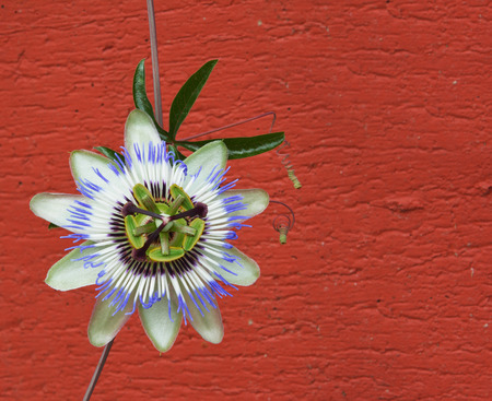 Blue passion flower and red wall as background
