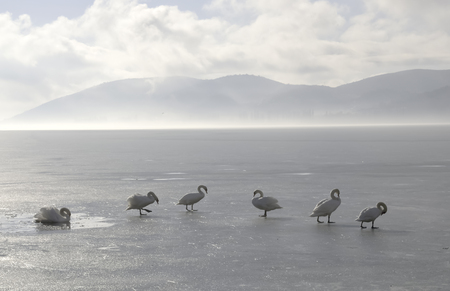 Swans standing on frozen lake in a misty morning