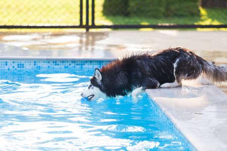 Siberian Husky Play Ball  at the Pool