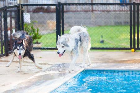 Siberian Husky Shake Off the water