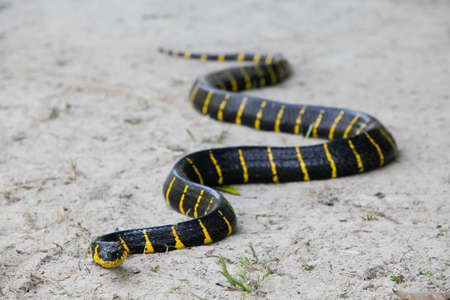 Close up of Mangrove snake creeping on white sand 스톡 콘텐츠